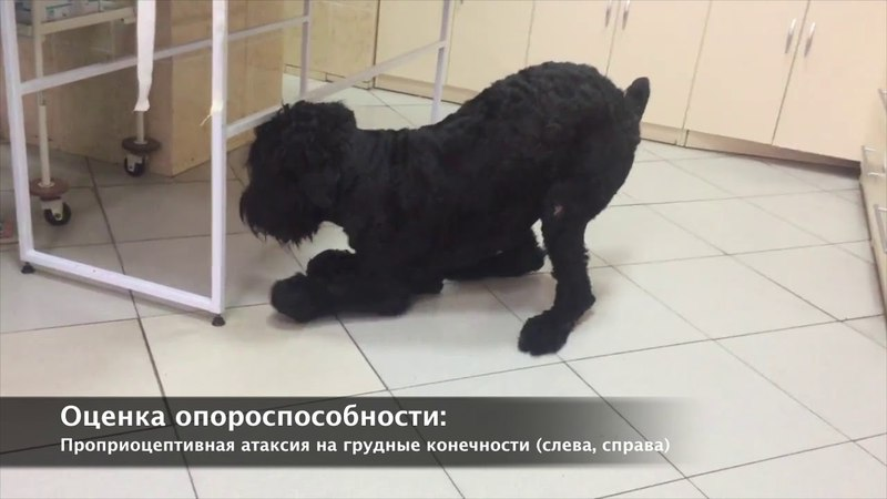 Парапарез грудных конечностей у собаки в результате авульсии плечевого сплетения двустороннее поражение