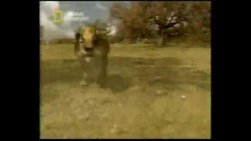 Вымершие Животные. Саблезубый Тигр (Смилодон фаталис) часть 3