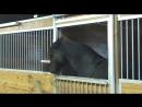 Для этой лошади, в конюшне не существует засовов. самое умное животное..mp4