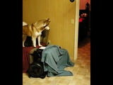 What the fluff with Dad! #whatthefluffchallenge #rogueprincessofdarkness #huskies #husky - 993134