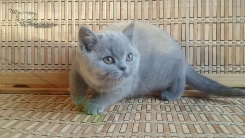 AmoreMio британская голубая кошечка. Продажа.