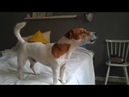 Jack Russell Terrier Filo trying to howl