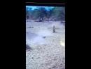 Антилопа орикс натыкается на питона