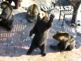 Медведи - попрошайки в зоопарке ...