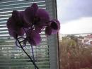 P1010022 Орхидея