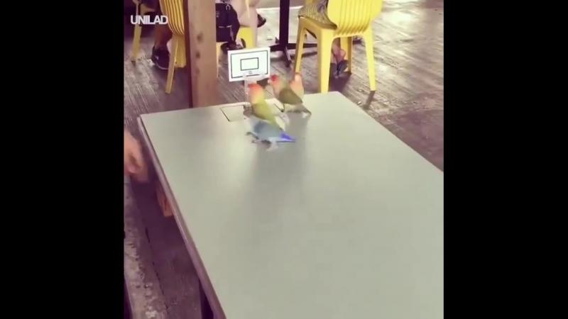 Попугаи баскетболисты