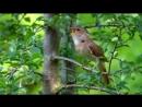 Соловей - Слушая пение Соловья, вы окунётесь в сказку леса и пробуждающейся природы...