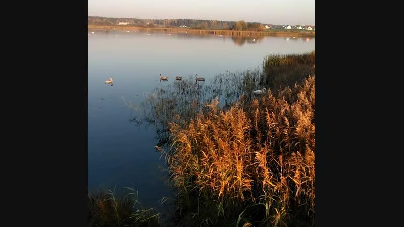 Осень 2018 Лебеди на озере)