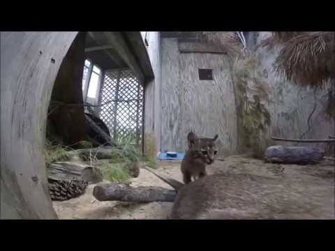 Rescue Baby Bobcat Got a New Roommate