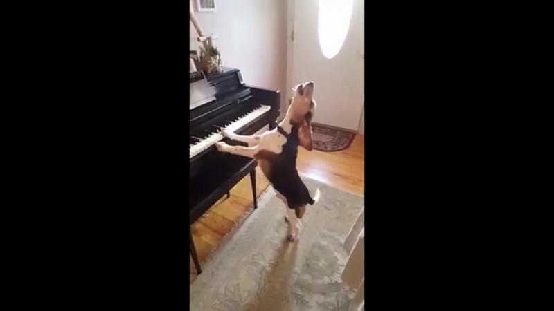 Собачий вальс. Забавная и милая гончая собака играет на пиан