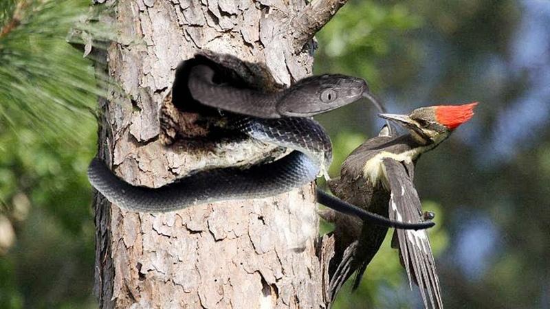 Incredible Bird Woodpecker Attack Giant Snake In Tree - Snake vs Bird - Snake Python