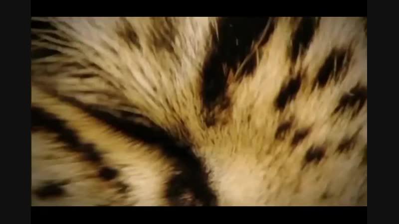 Голодный ягуар