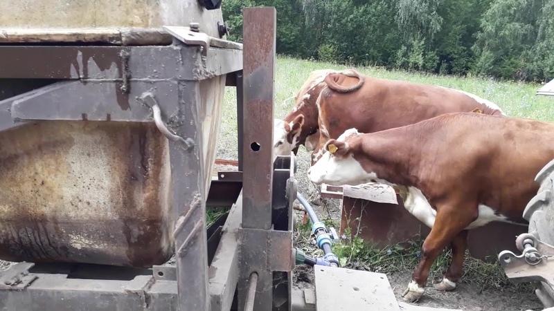 Поение коров на дальнем пастбище