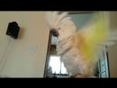 Onni cockatoo runs and pants like a dog