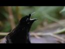 Брачный танец райской птицы