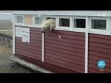 Объевшийся шоколада медведь не смог вылезти из окна отеля на Шпицбергене