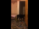 Собачьи бои , доберман vs алабай