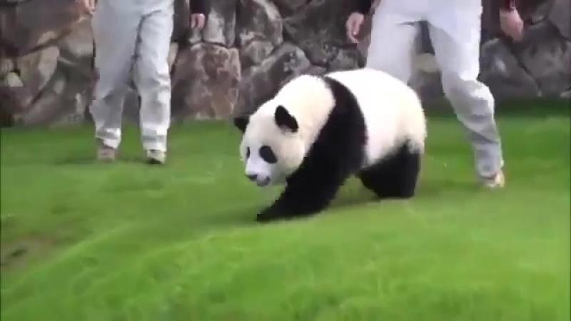 пьяная панда хуебесит