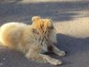 служебный пёс