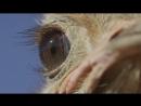 глазки страуса