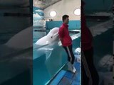 Beluga whale also can blow a sweet kiss