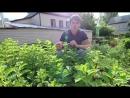 Давайте знакомиться Гортензия метельчатая Даймонд Руж