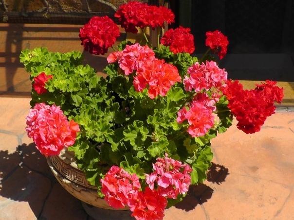 Пеларгония домашняя (герань) — растение, которое раньше считали цветком аристократов. Ее восхитительные пышные цветы и яркий окрас станут украшением любого жилища.
