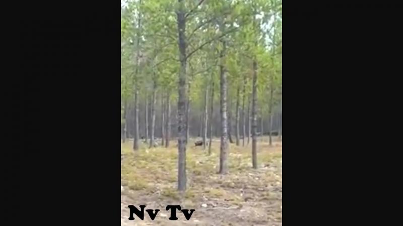 Загадочный зверь напал на человека с собакой гулявших в лесу