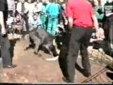 Собачьи Бои Volkodav KO Vs. Mastino