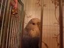 мой попугай Гриша ест