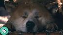 Хатико дождался своего хозяина. Смерть Хатико. Хатико: Самый верный друг (2009) год.