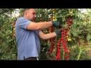 Как вырастить томаты черри