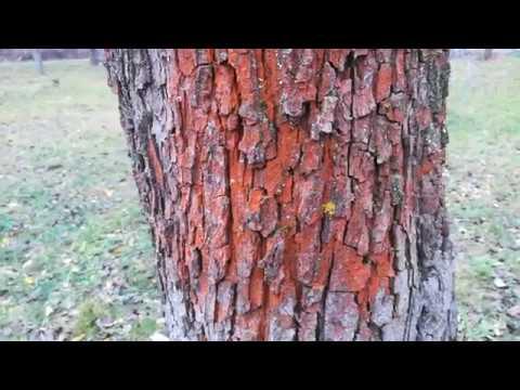 Ржавые пятна на деревьях и кустах. Что делать?