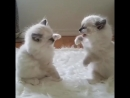 Финал Боев без правил Mr. Snowy vs. Wild Wite Cat