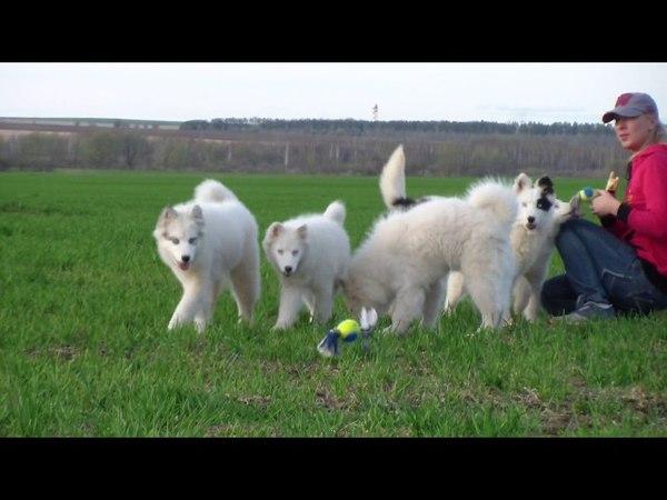 Yakutian Laika puppies / Якутская лайка щенки