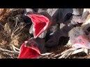 VLOG ● Нашли гнездо воронов | Приняла полиция