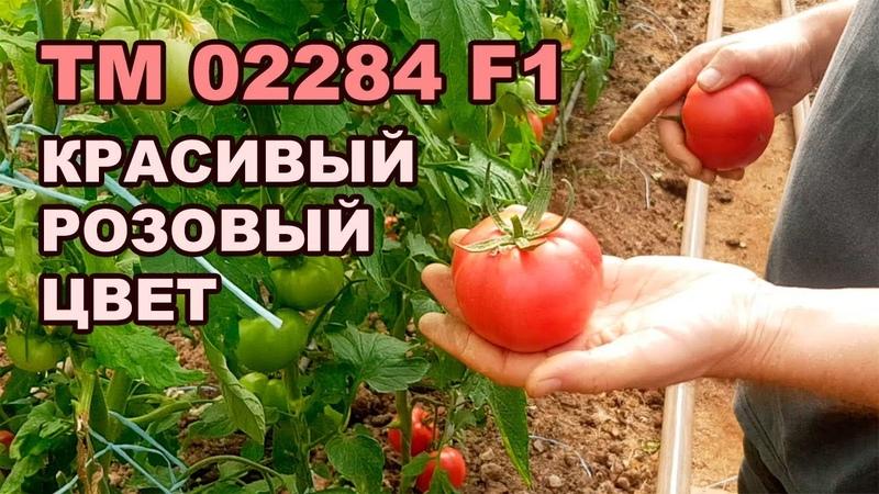 TM 02284 F1 - КРАСИВЫЙ РОЗОВЫЙ ЦВЕТ ПОМИДОРА (01-10-2018)
