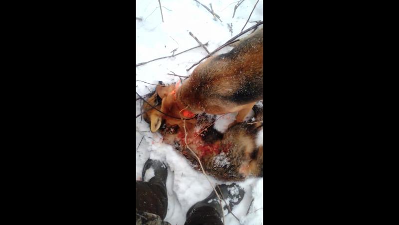 Охота на лису с гончими без оружия