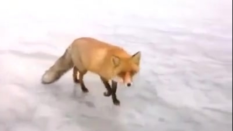 Meanwhile in Russia - Wild fox came to fisherman on frozen lake