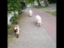 Прогулка - кот и свин