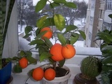 Домашний мандарин из косточки#от А до Я