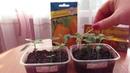 Второй посев перцев
