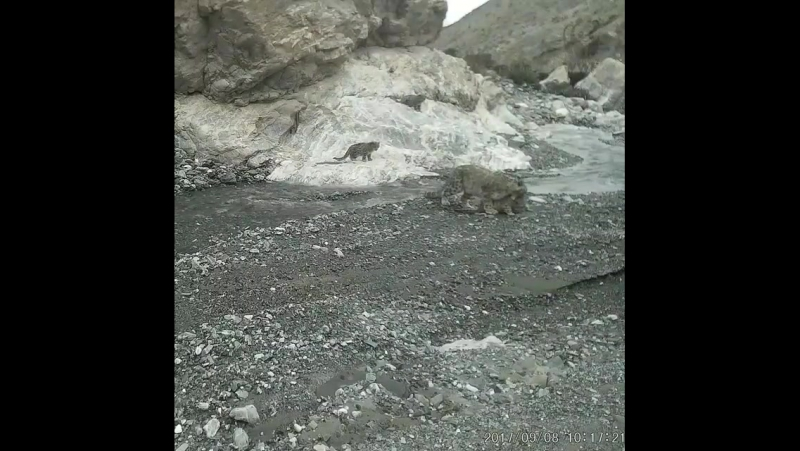 WWF UK - snowleopard and three cubs force the river