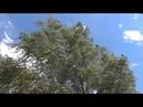 Ветер лес видео Мурмино Рязанский район Телков Сергей