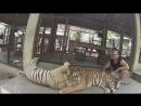 В тигрином королевстве Чиангмай Таиланд Апрель 2015 года