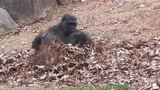 Gorillas playing in leaves Metal Edition