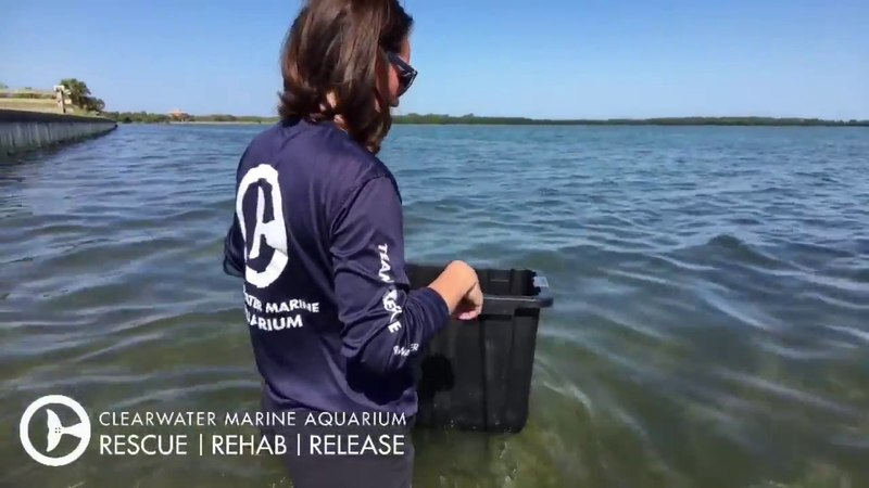Critically Endangered Sea Turtle Released After Swallowing a Fishing Hook