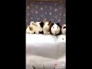 смешные морские свинки