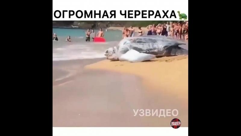 Огромная черепаха Смотреть обязательно