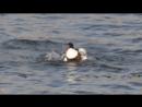 Пеганка купается в Москве-реке 02/2018